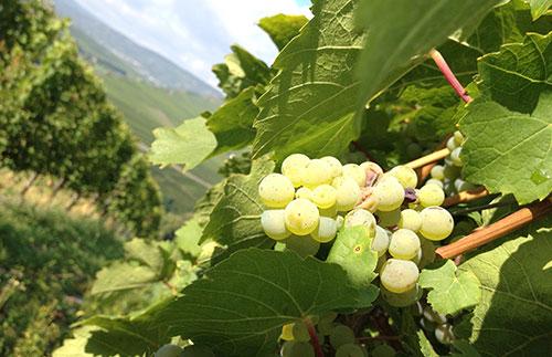Vingårdens eiere forteller oss om sin økologiske vinproduksjon